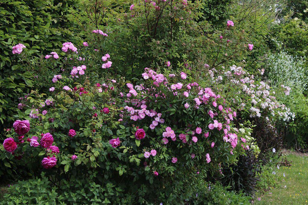 La magie des roses (1)