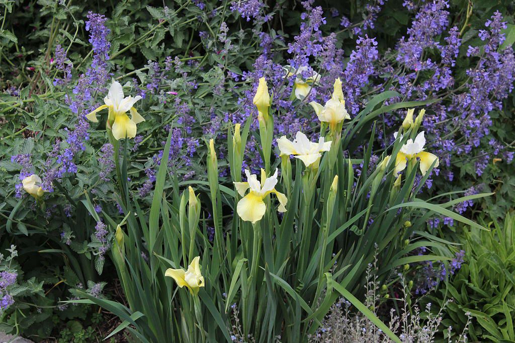 "Iris siberica ""Butter and Sugar"""