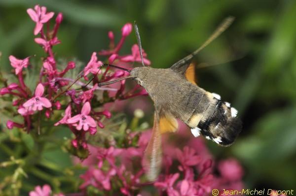 Papillons en Somme