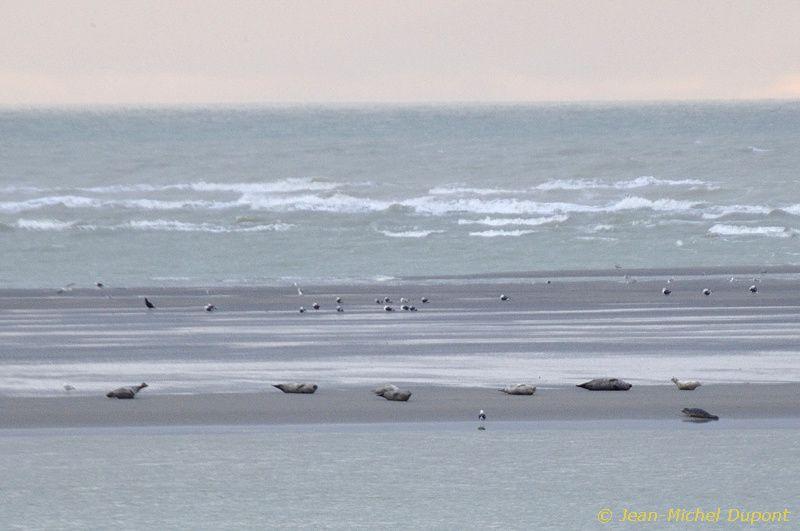 Veaux marins en baie d'Authie