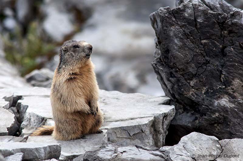 Encore des marmottes
