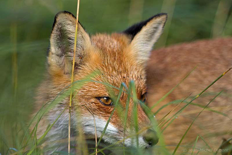 Le renard du Marquenterre toujours aussi familier
