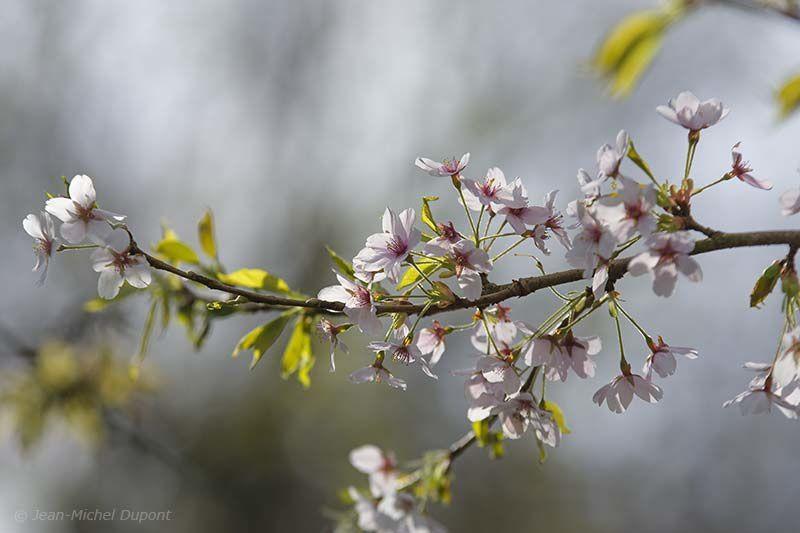 Cerisiers, magnolias et autres plantes en fleurs