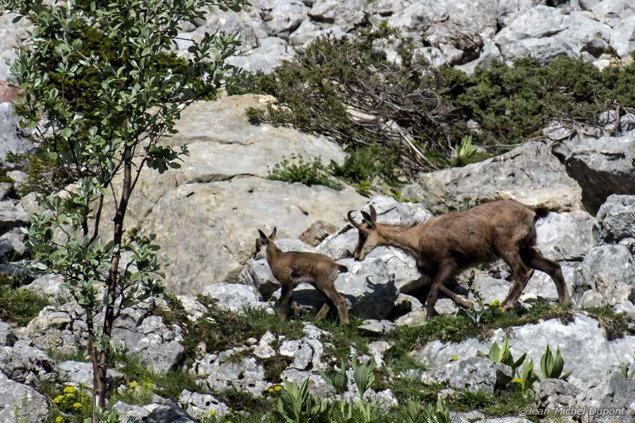 Chamois et marmotte