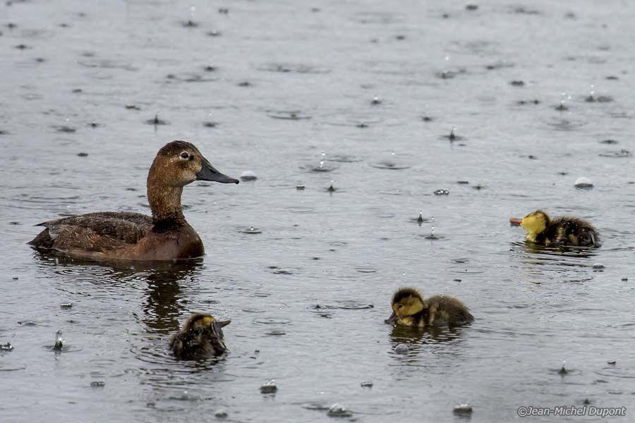 Canards sous la pluie