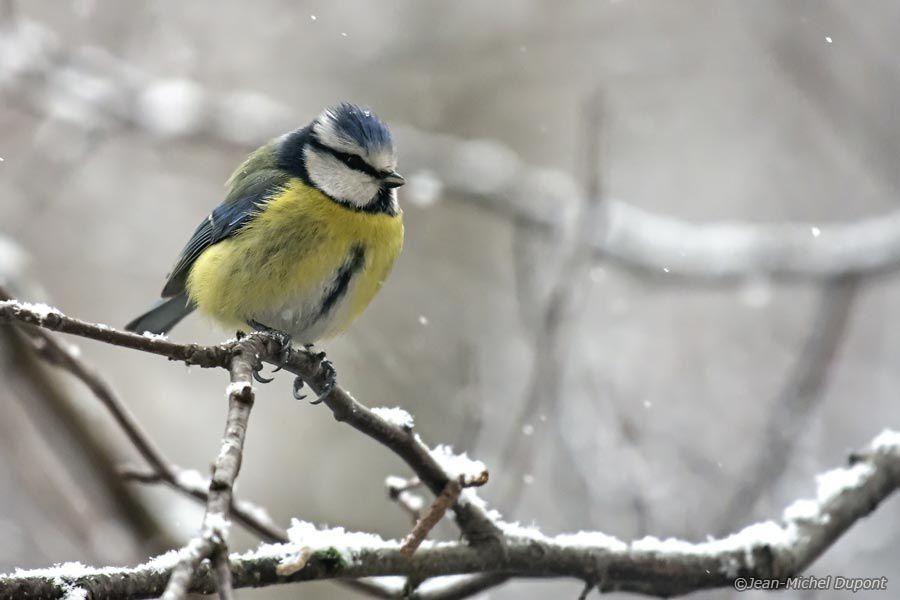 Mésanges sous la neige