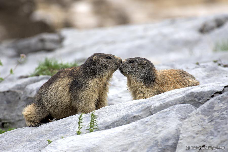 Couple de marmottes