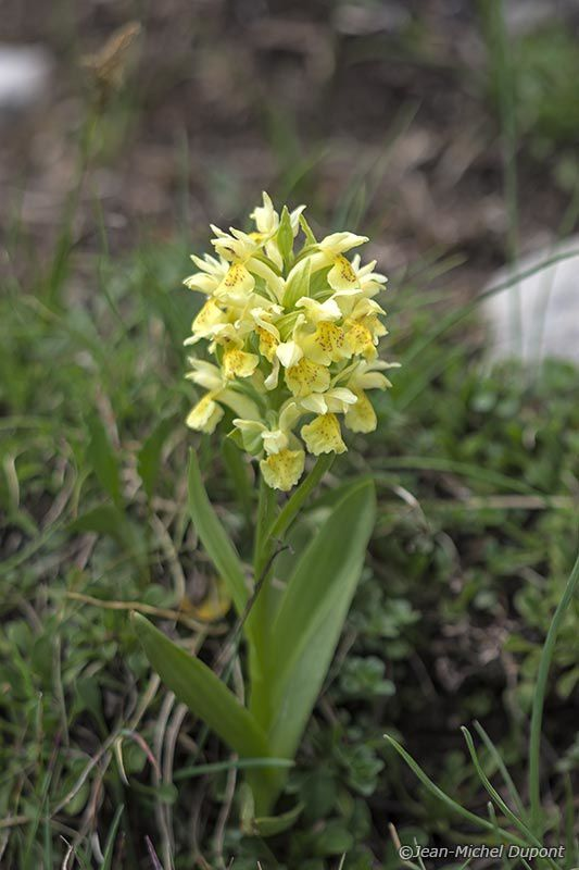 Orchidées et chamois