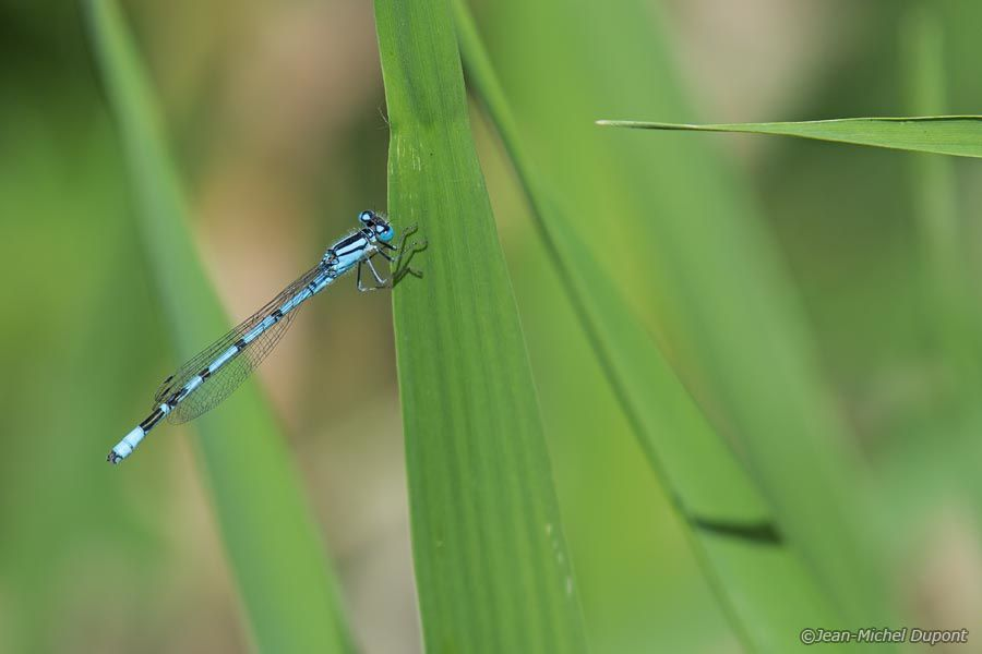 Agrion porte-coupe - Enallagma cyathigerum