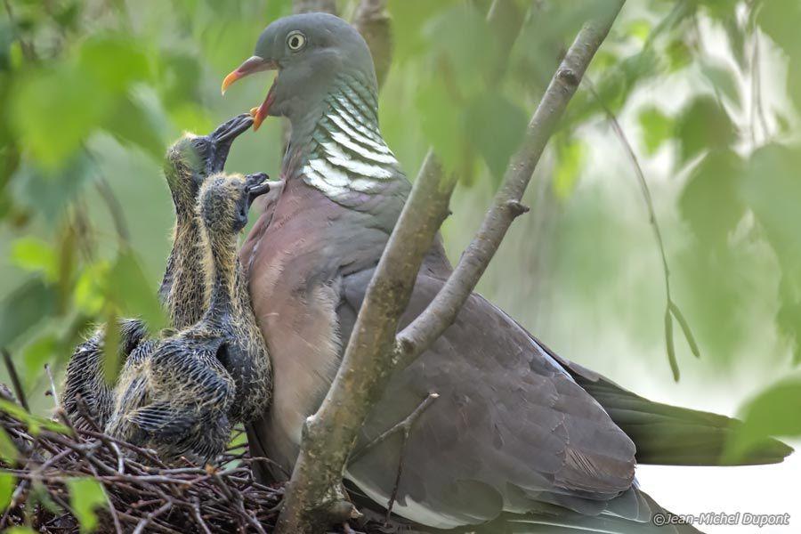 Du lait pour les pigeons