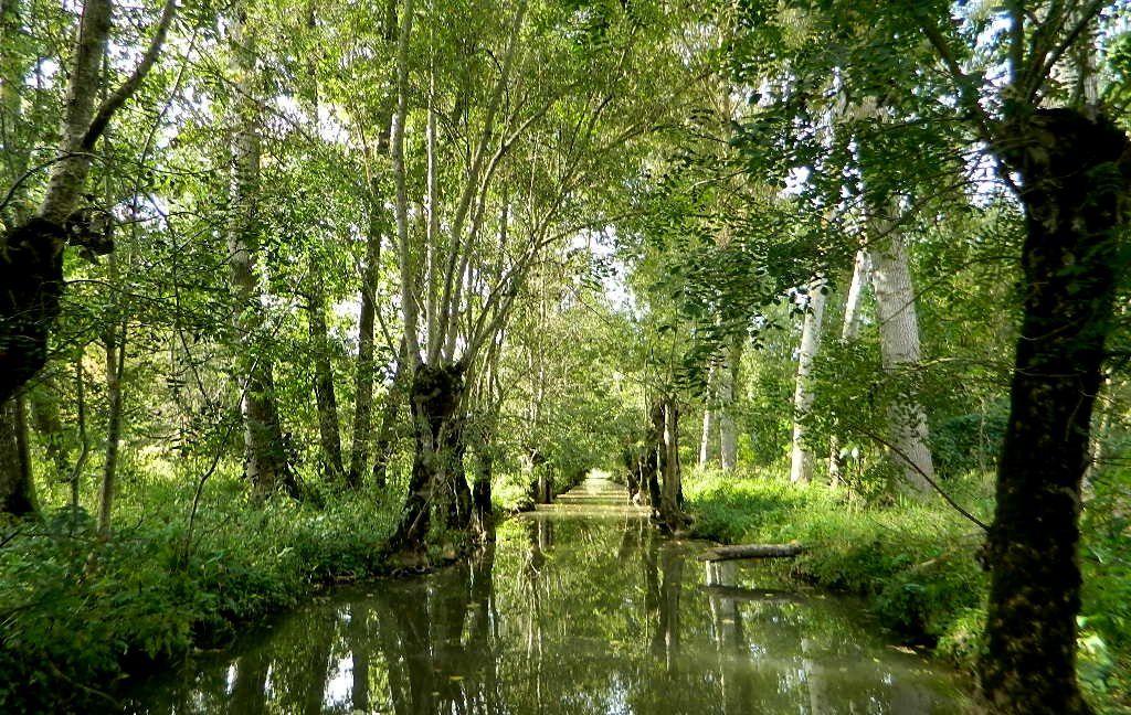 les arbres du marais : les frênes, les peupliers