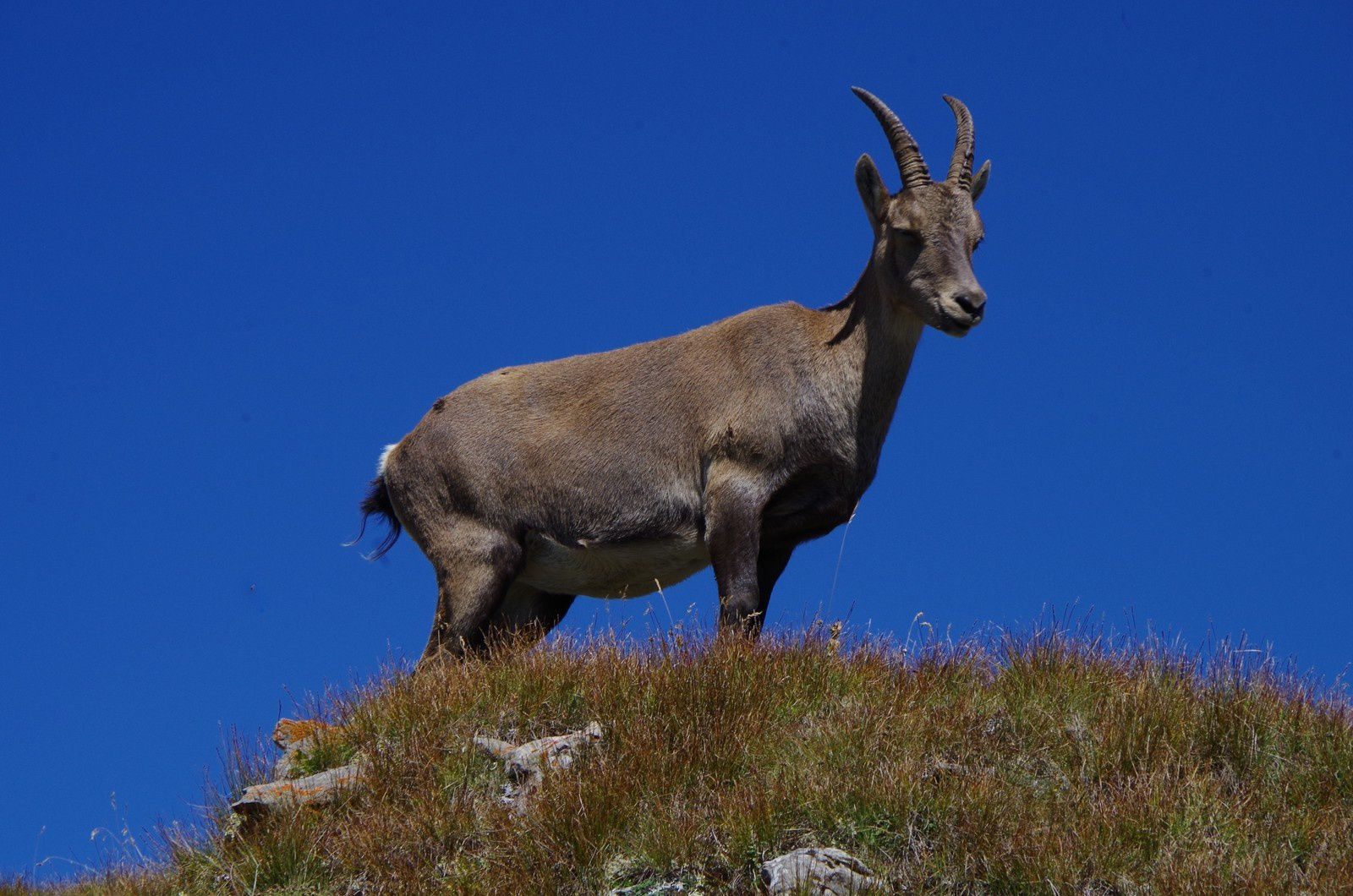 Capra ibex,bouquetin des Alpes