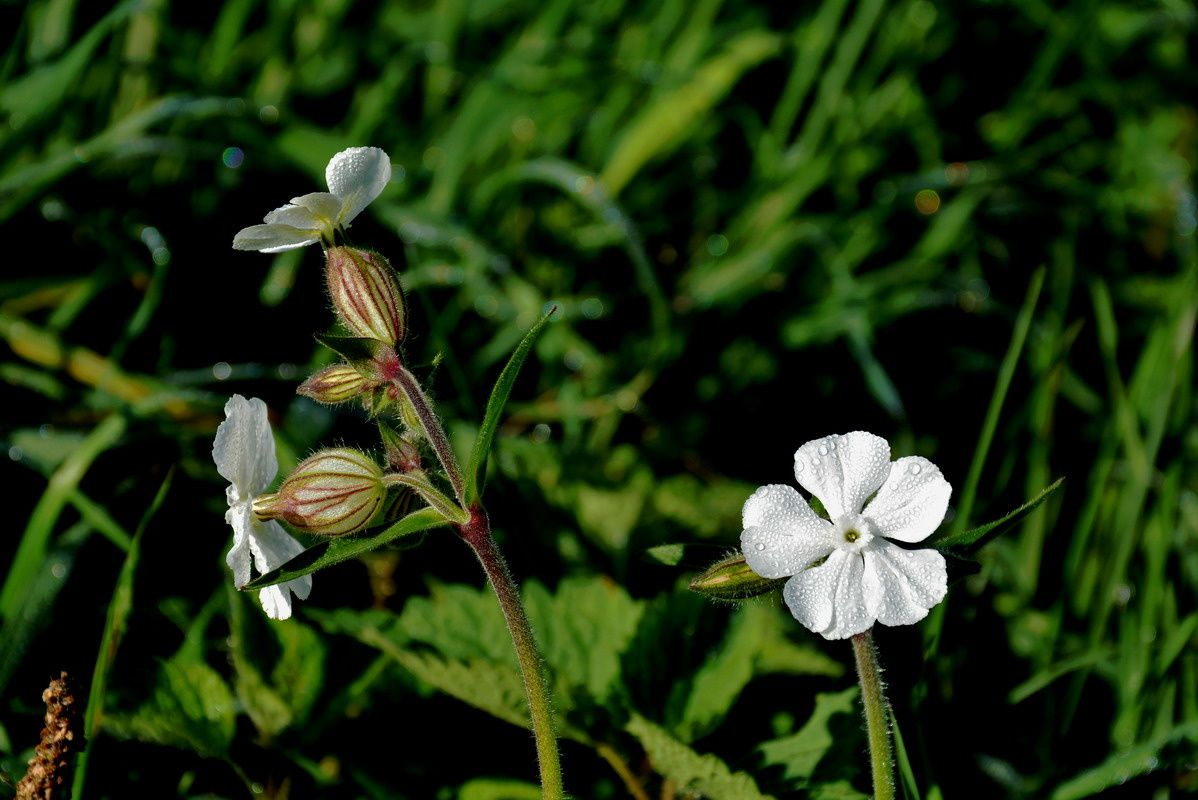 Silene latifolia, compagnon blenc,