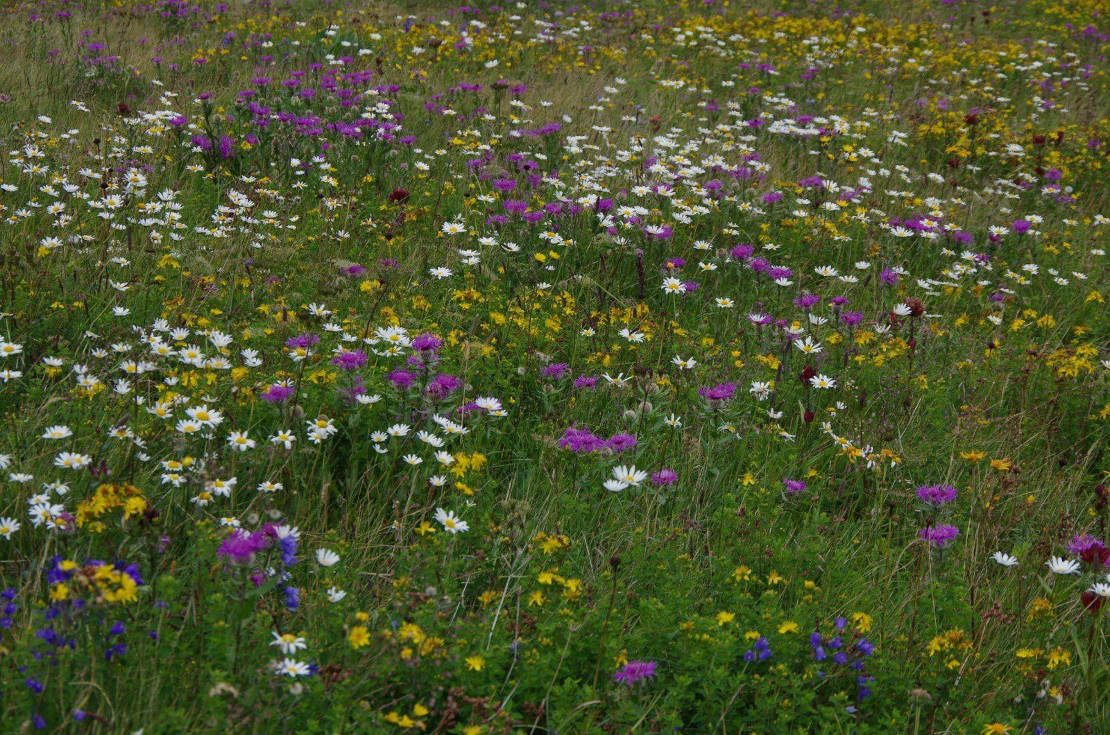 Prairie fleurie au Semnoz