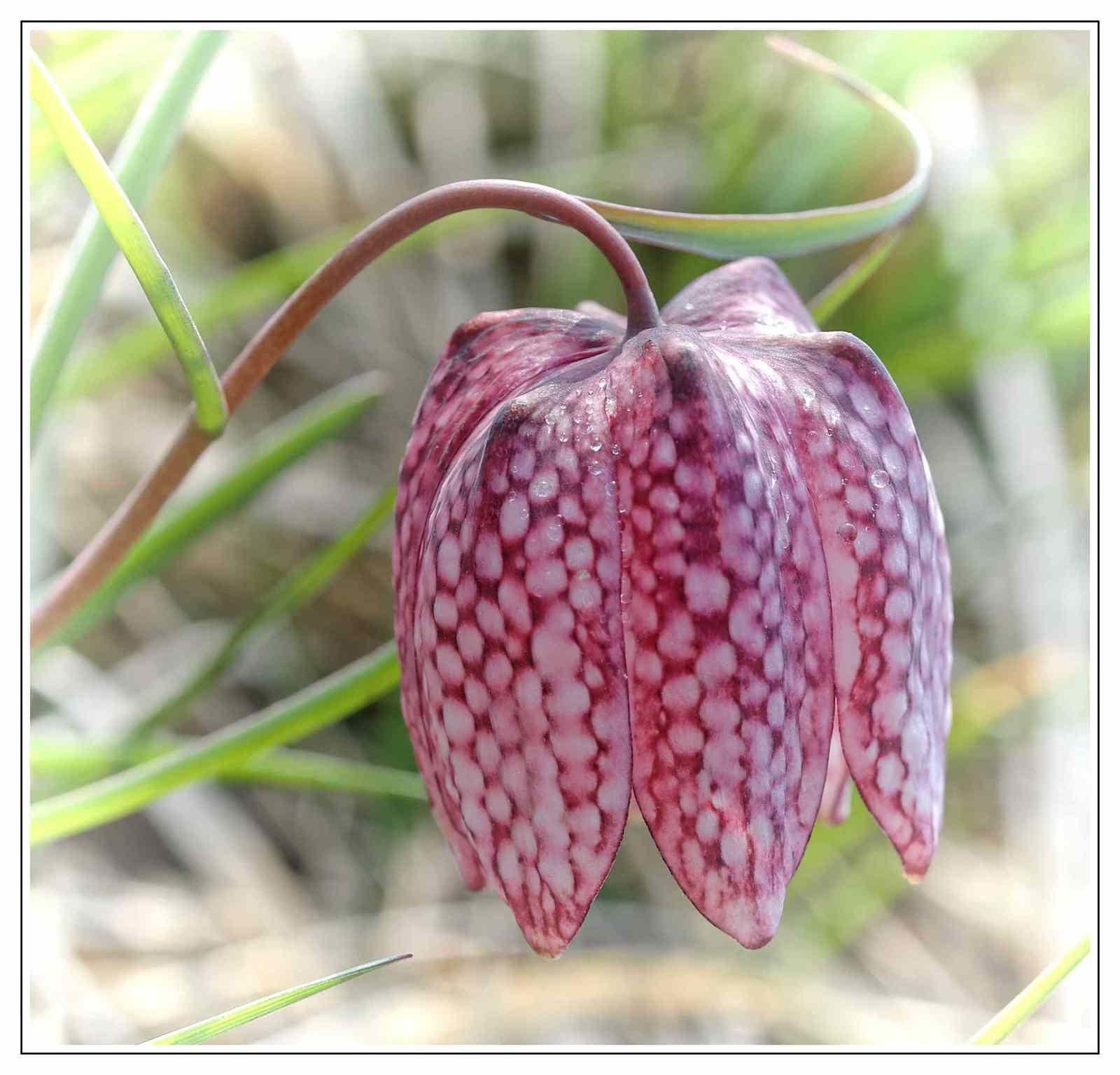 Fritillaria meleagris, fritillaire pintade