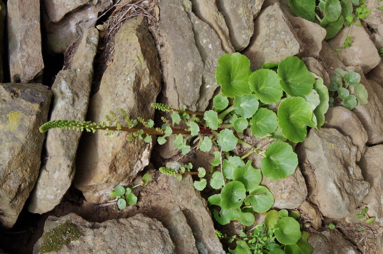 Les plantes de nos murs,