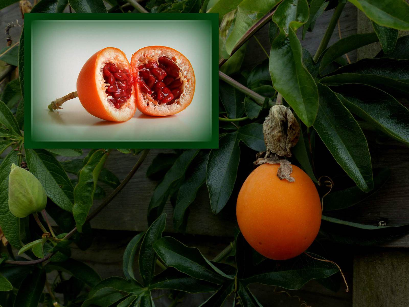 Fruits de Passiflora caerulea,