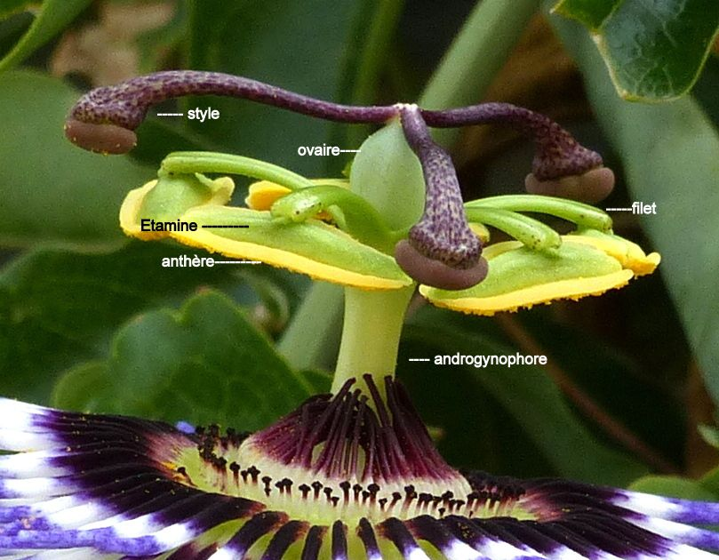 Styles et étamines de Passiflora caerulea,