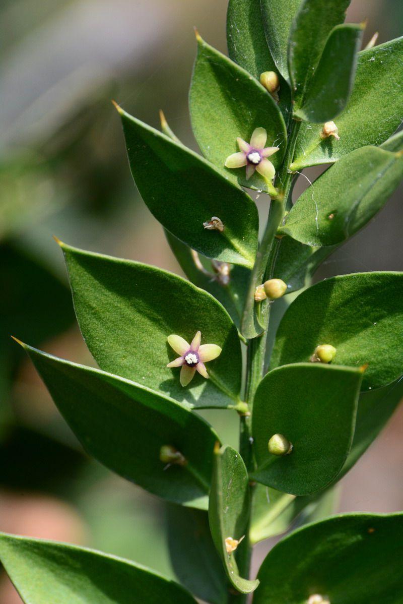 Faux houx ou petit-houx, Ruscus aculeatus,