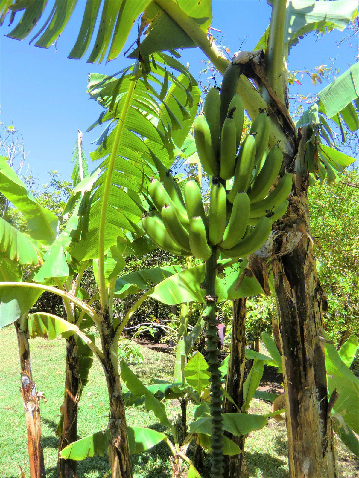 Régime de bananes, photo empruntée à Internet