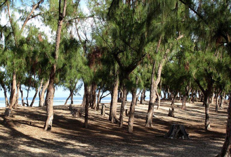 Le filao, ou filao à feuilles de prêle, Casuarina equisetifolia