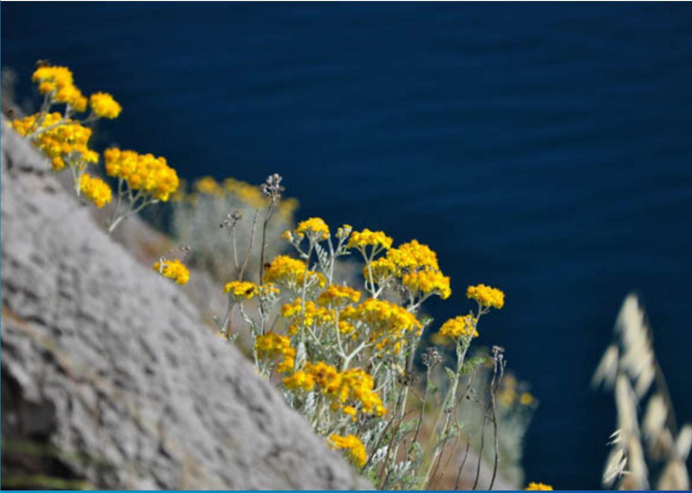Helichrysum arnicoïdes,