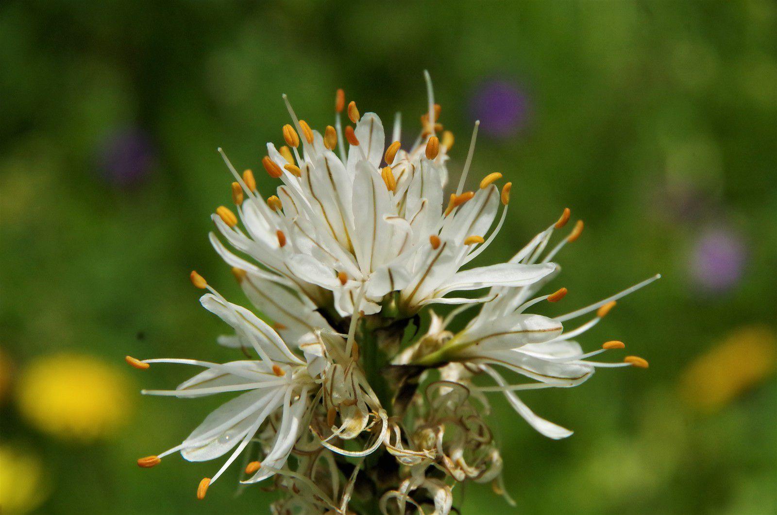 Asphodèle du Dauphiné, Asphodelus albus ssp delphinensis,