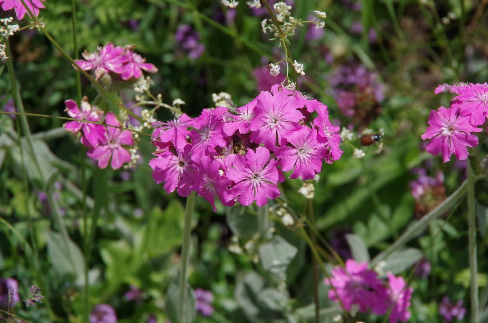 Lychnis fleur de Jupiter, Lychnis flos-jovis.