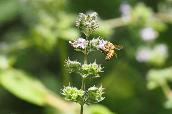 Du coup ce n'est pas évident de photographier les abeilles, heureusement certaines ont le gentillesse de butiner à hauteur d'homme.