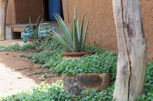Menthe et Aloe, seuls vestiges de la saison sèche.