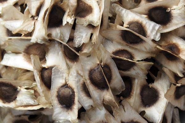 Les graines noires sont ailées, c'est-à-dire entourée d'une membrane blanche qui leur permet d'être disséminée par le vent. Les plus grosses font environ 1cm de diamètre (sans les ailes).