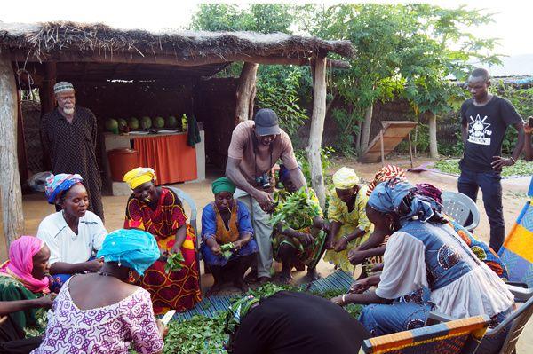 Découpe des feuilles de basilic sous la supervision du chef Djambala qui ne manque pas une miette de la formation !