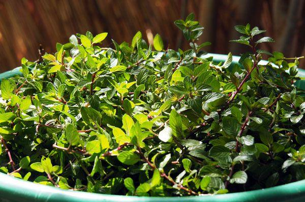 Belle récolte de menthe… qui ne représente que quelques centaines de gramme de menthe fraîche!