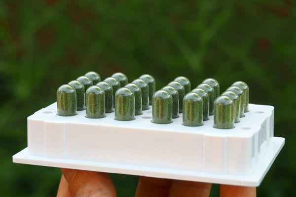 Bonne production d'Artemisia cette année et essai de gélules. Les gélules sont beaucoup plus faciles à prendre que la tisane au goût amer… mais elles doublent le prix du traitement! A étudier donc…