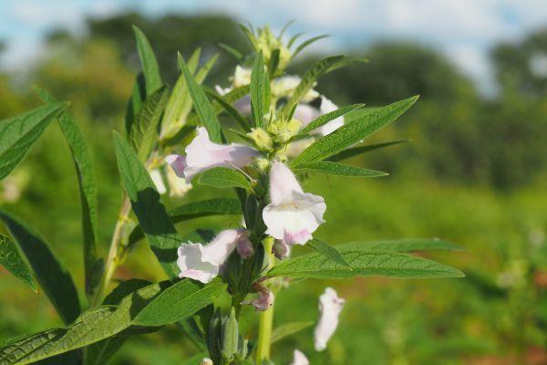 Fleurs blanches solitaires, et feuilles fines en haut de la plante.