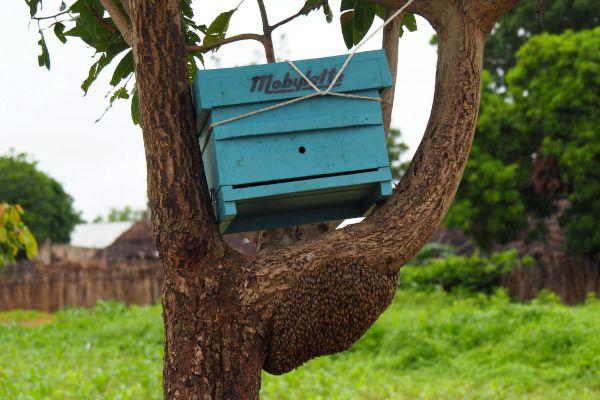 """Une capture d'essaim """"naturelle"""" : nous avons placé une petite ruche Warré au dessus de l'essaim sauvage, qui a fini par entrer dans la ruche de lui-même. Au bout d'une semaine nous l'avons déplacée et depuis la colonie est sur 3 éléments."""