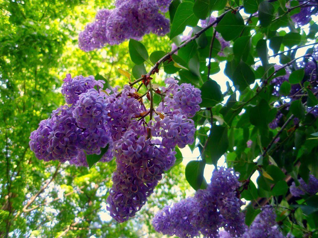 Fleurs - Jeudi poétique des Croqueurs, Fanfan à la barre - Découverte du lilas, Lenaïg