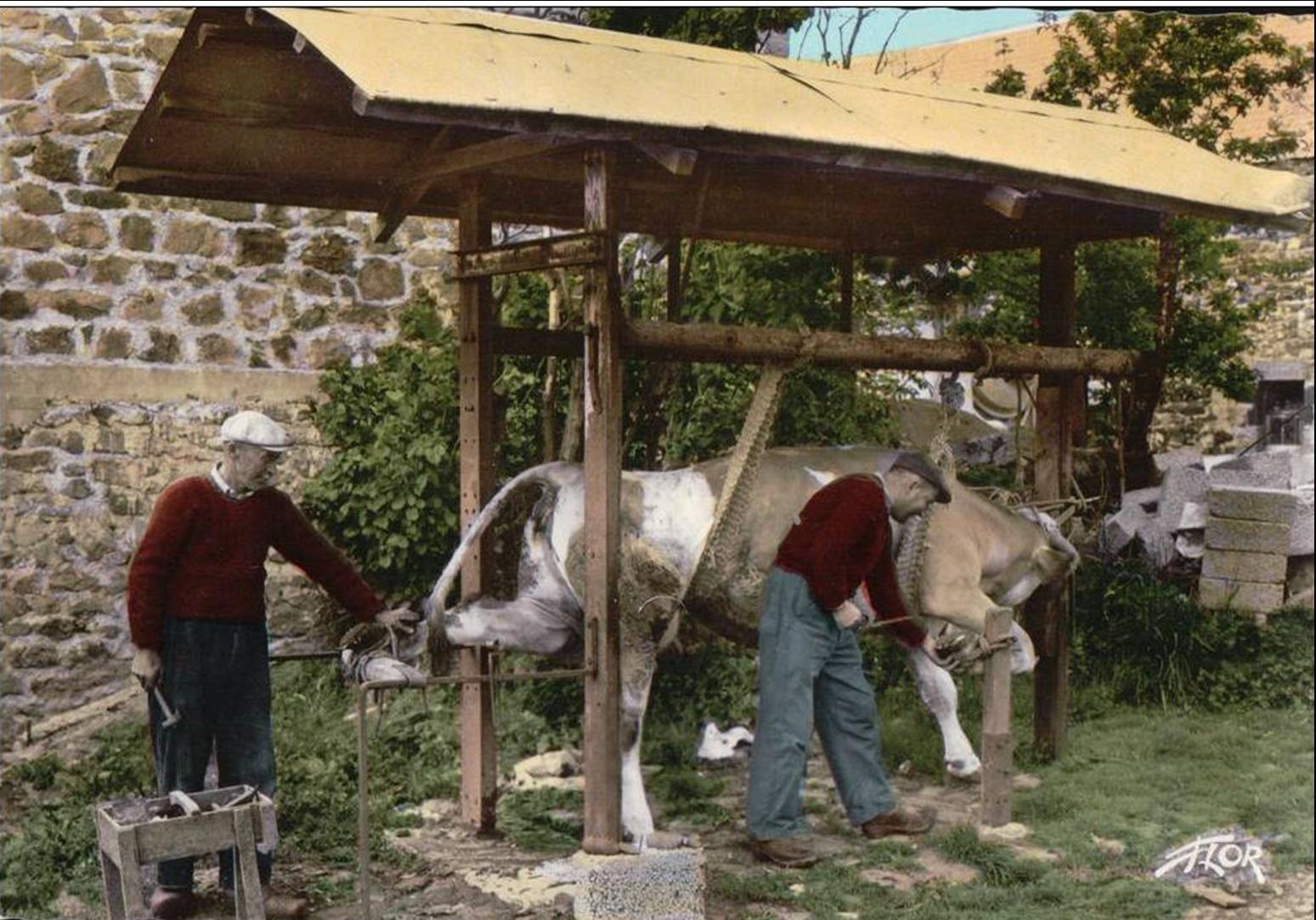 Le ferrage des vaches ou des bœufs