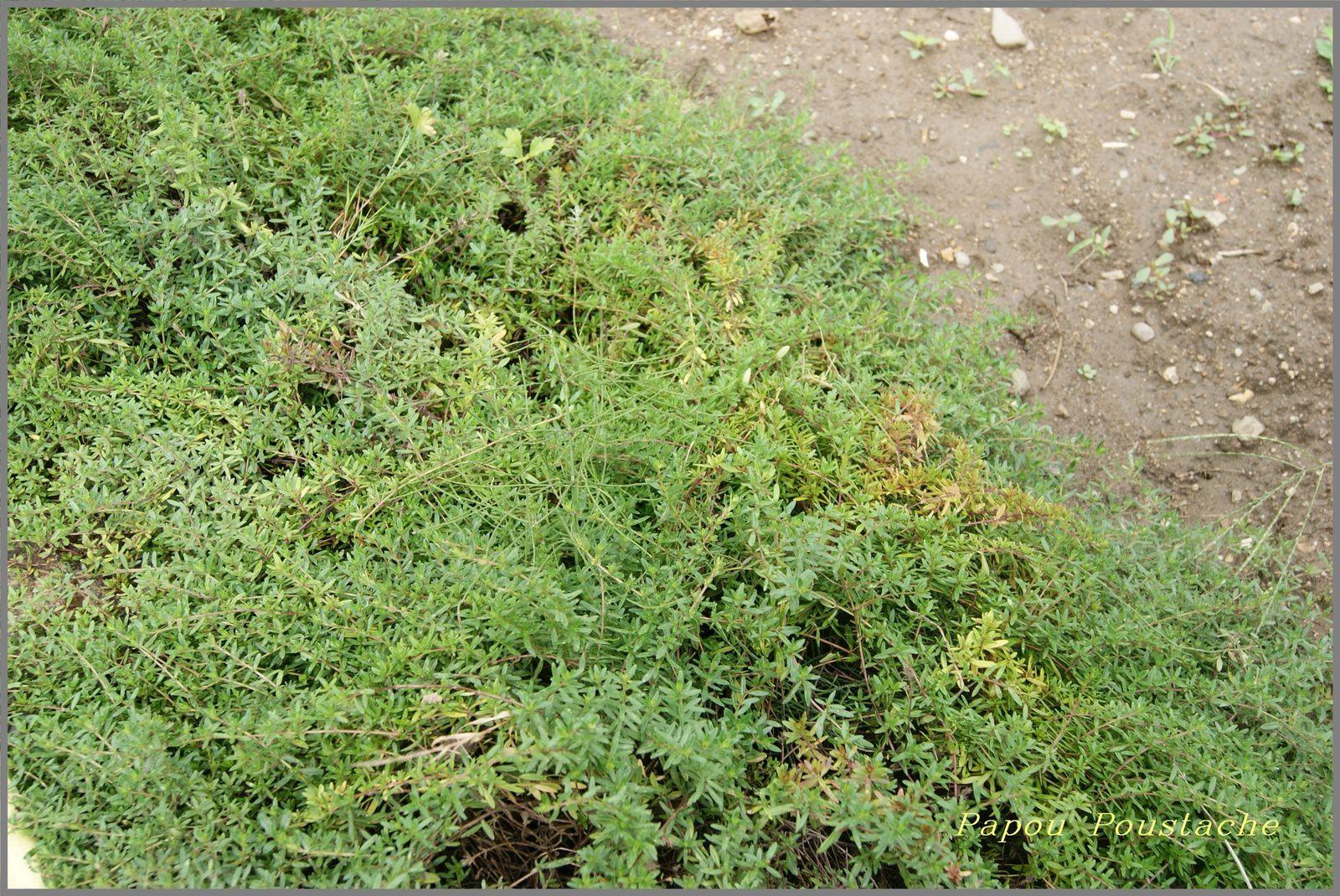 Bouturage plantes aromatiques