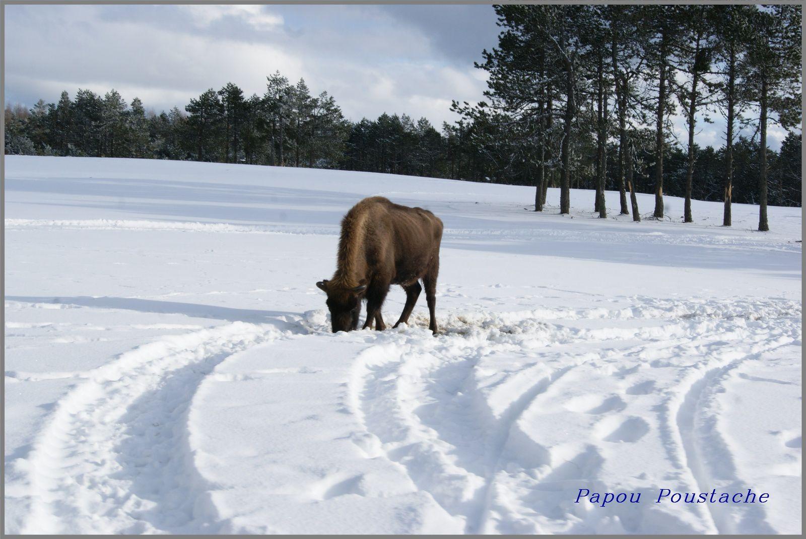 Le bison d'Europe