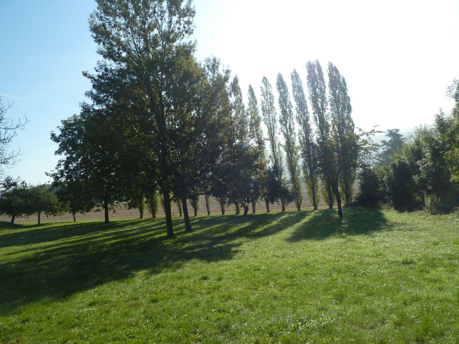 Jolis peupliers alignés au lieu dit Les Champreux tout près de Chamigny.