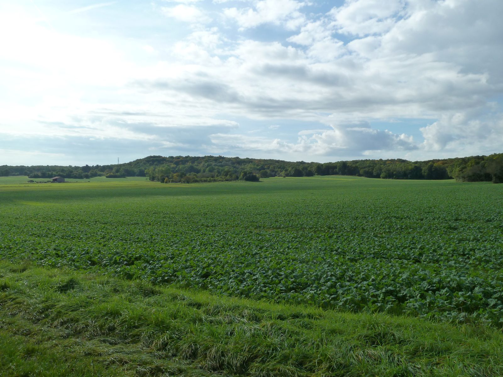 Je crois que ce sont des champs de colza.