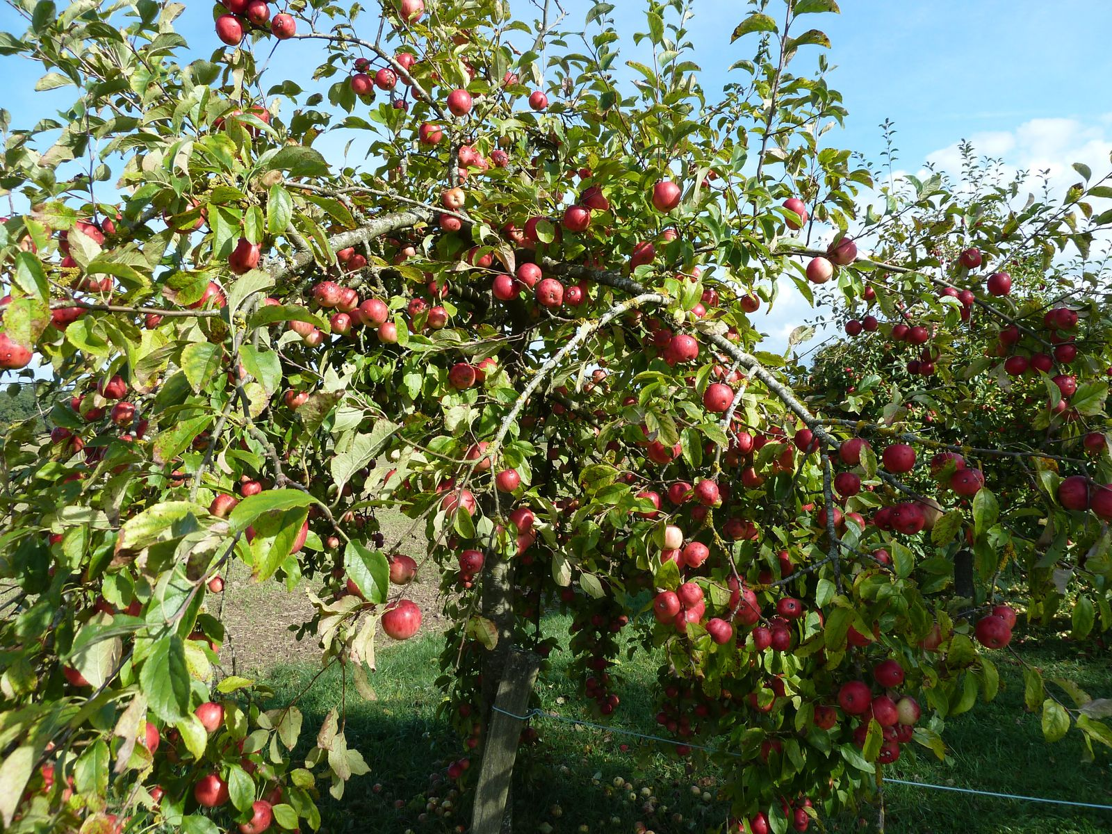 Quelques jolis pommiers arborent leurs fruits rouge, mais interdiction d'y toucher...