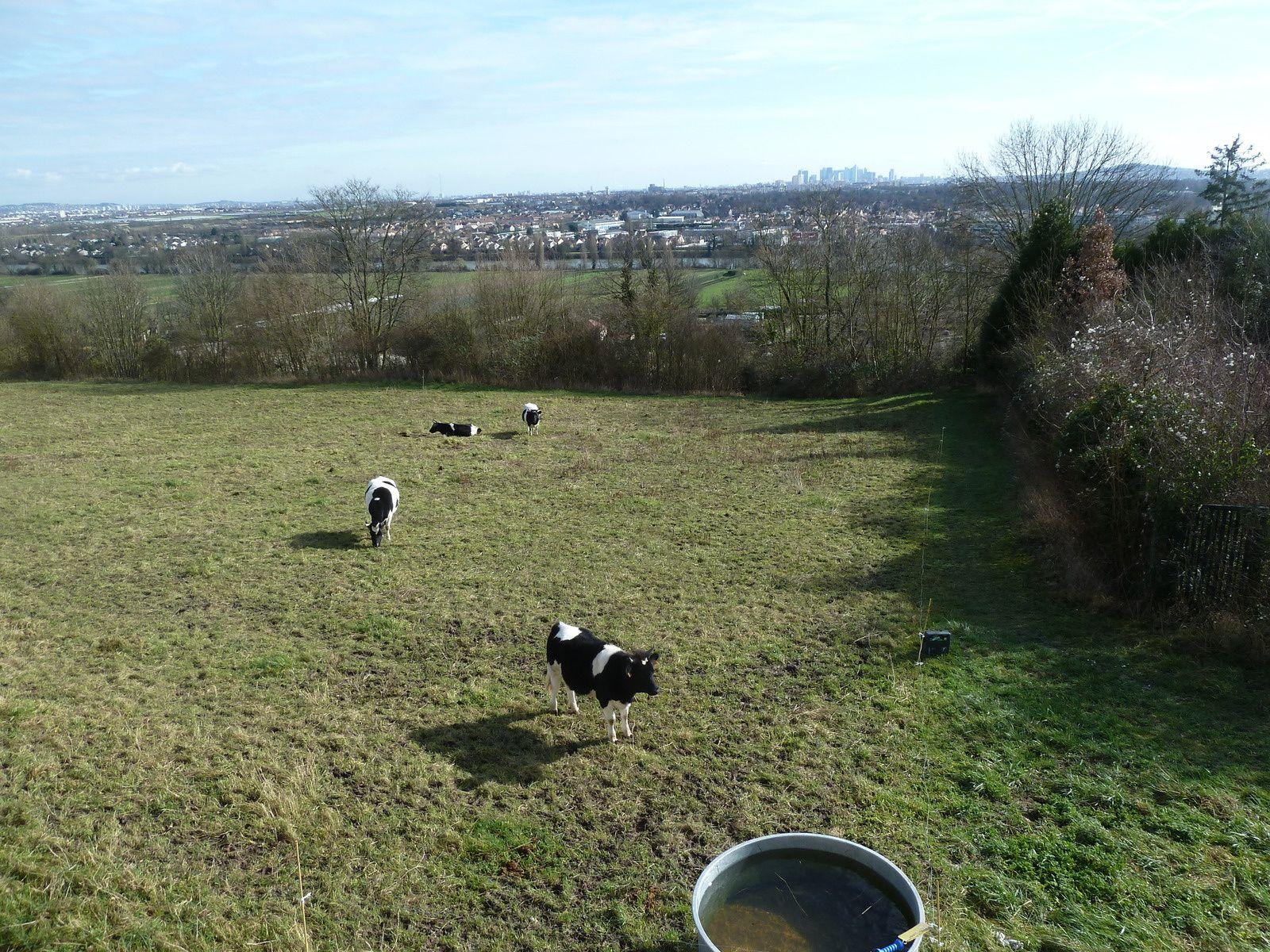 Belle surprise ! Des vaches ruminent avec bonheur l'herbe des pâturages au pied de la terrasse...