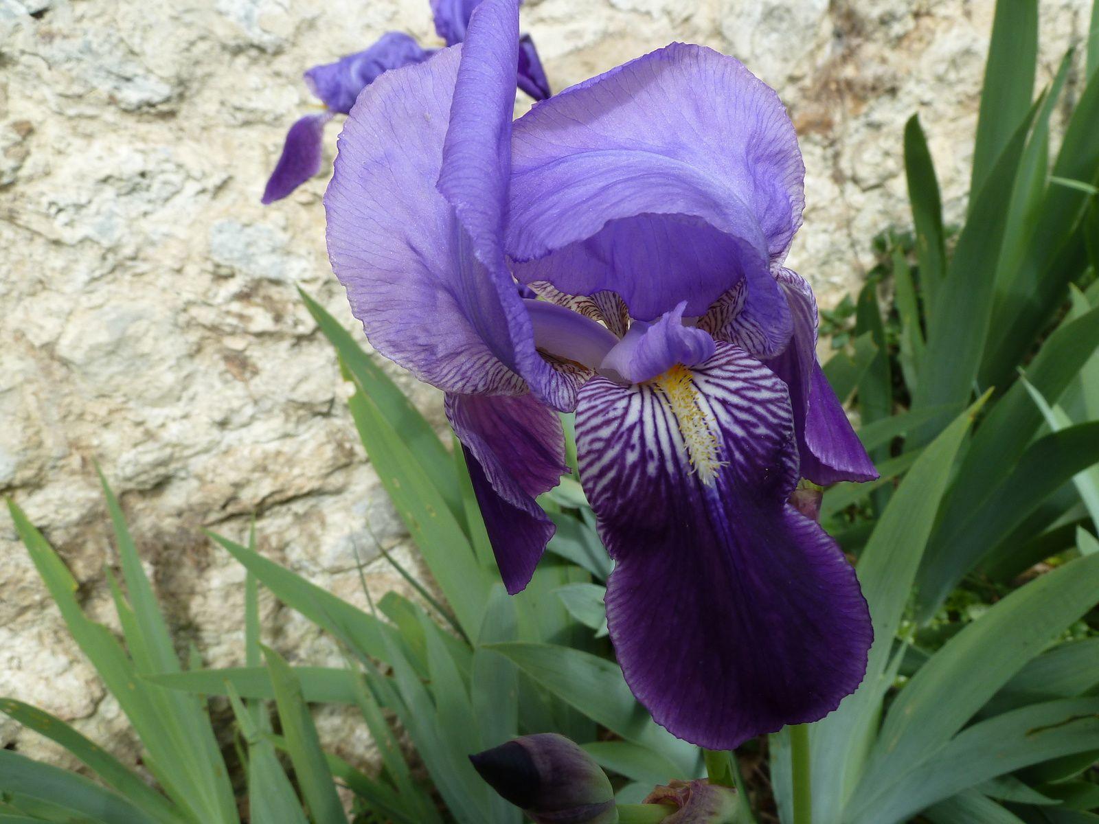 l'Iris, plante vivace à rhizomes ou à bulbes de la famille des Iridacées.