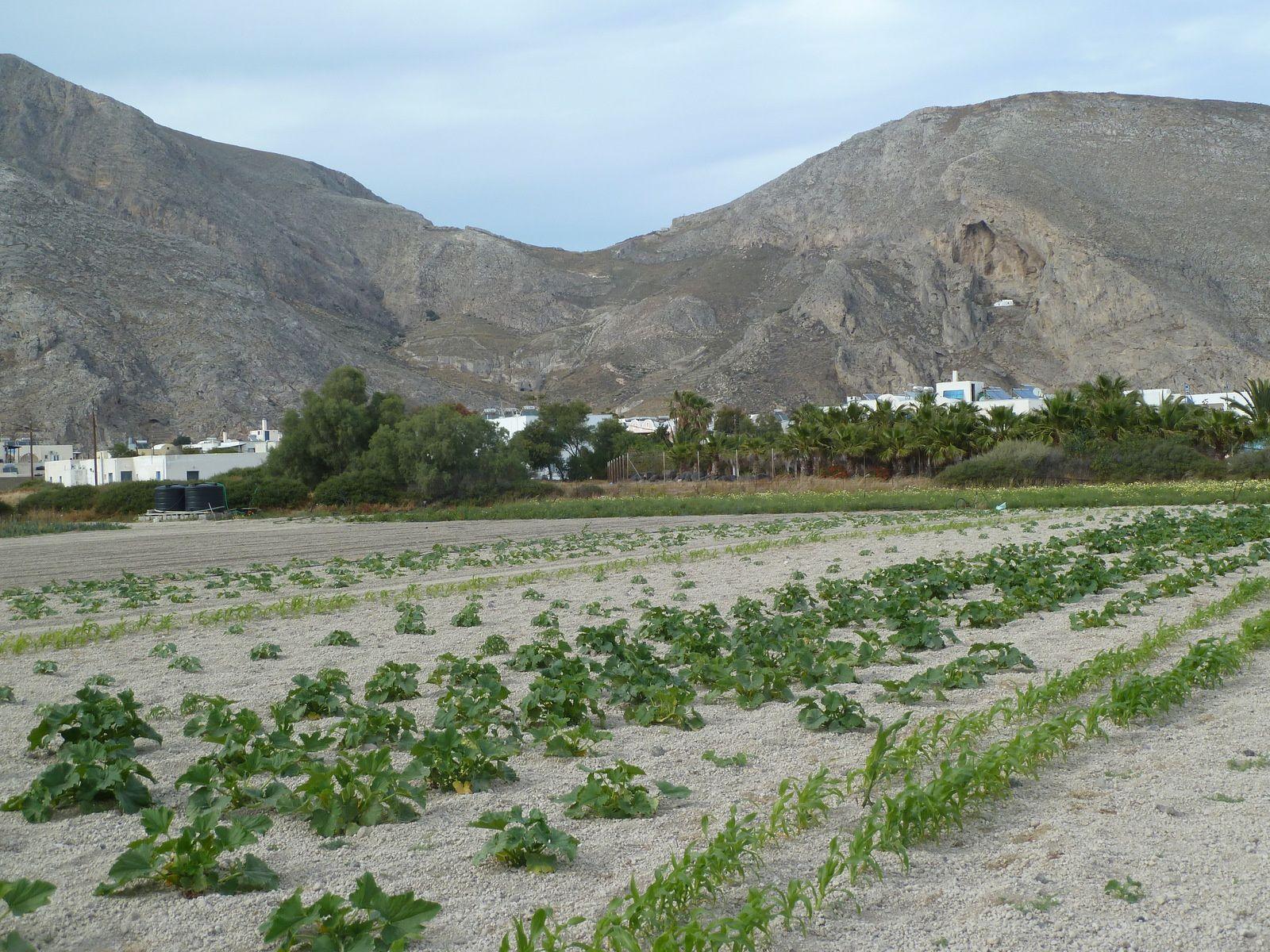 La pauvreté du sol de type volcanique due à la couche de cendre ne permet que peu de culture, des tomates cerises délicieuses y poussent et quelques vignoble qui produisent un bon vin...
