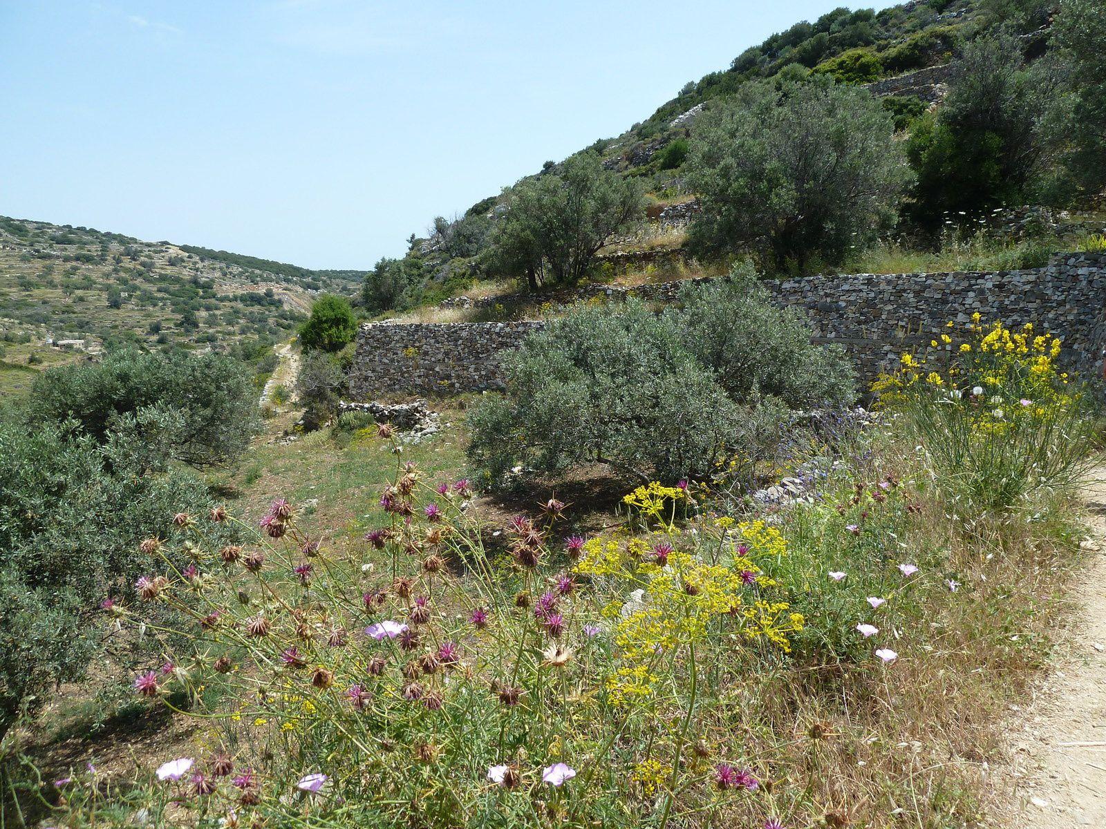 """A la sortie du village, nous prenons le sentier, balisé n°1 en rouge et blanc, dit """"route Byzantine"""" construit il y a environ 1000 ans avec des pierres de marbre. Les paysages sont magnifiques, des oliveraies ainsi que des champs couverts de pervenches, de genêts en fleurs, de thym, d'origan..."""