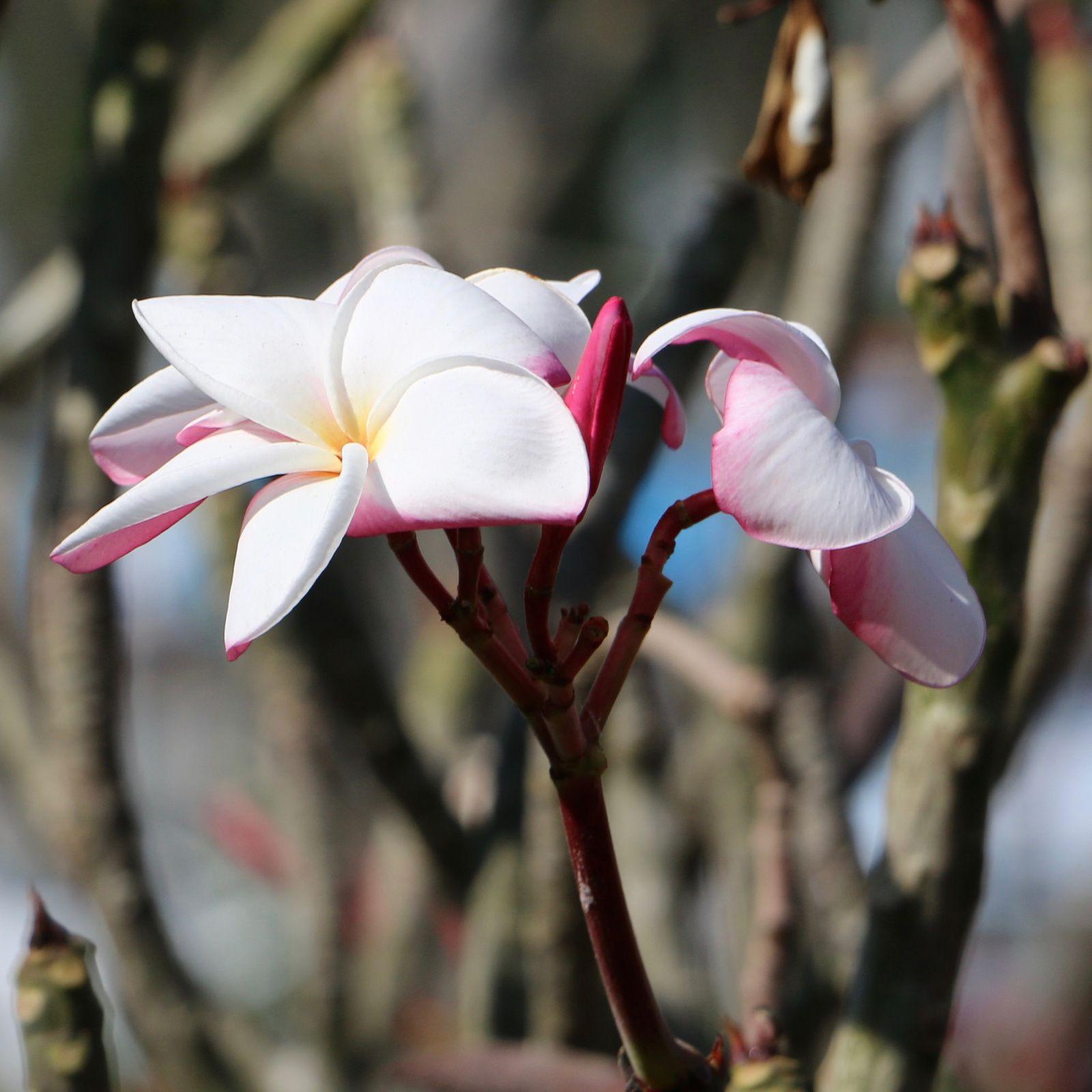Frangipagne blanche (Plumeria subsessilis), Laos, 24/11/19