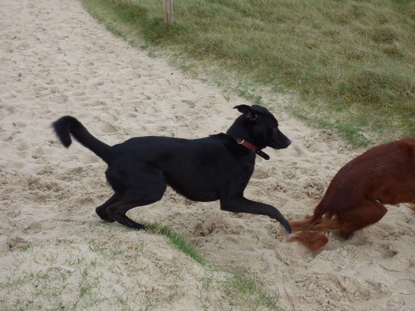 Setter versus croisé labrador : match nul