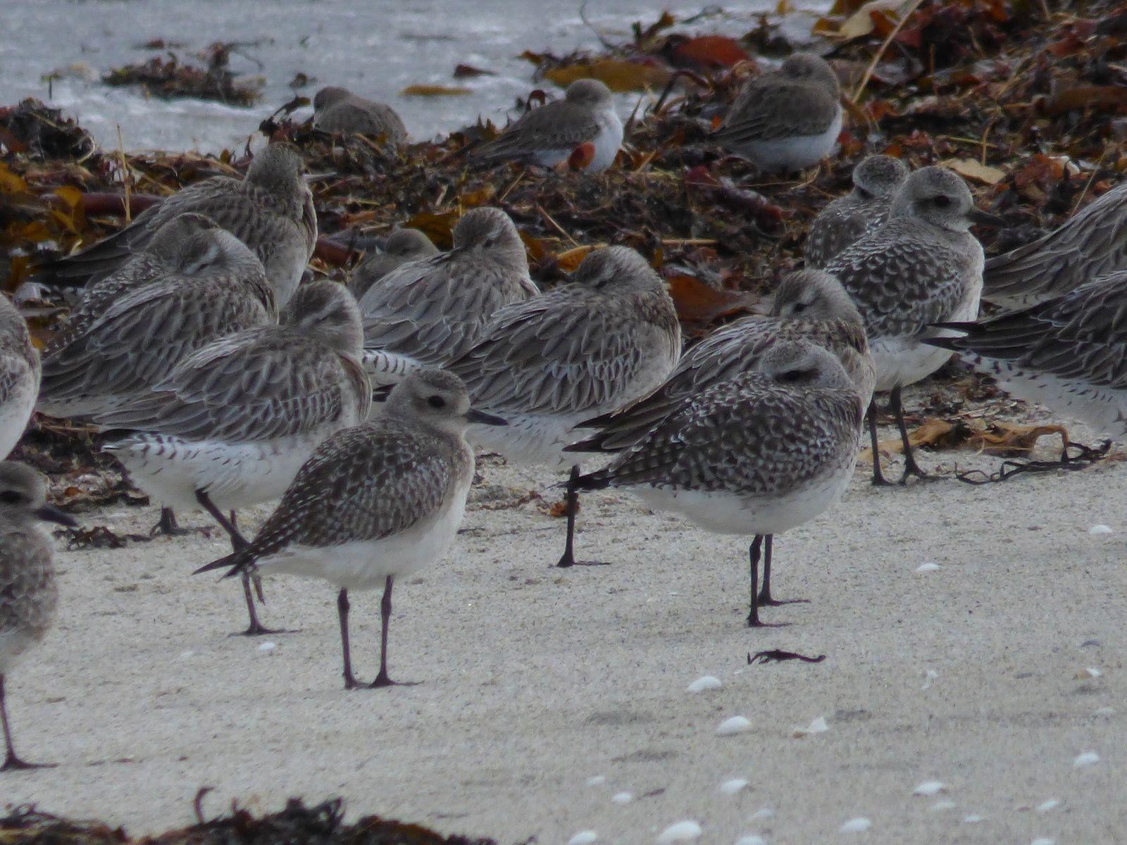 les bécasseaux sanderlings, variables....
